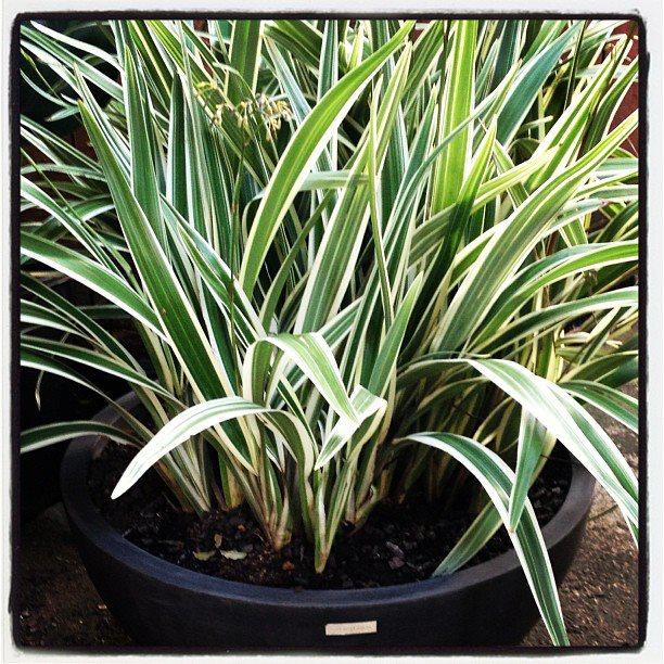 #dianela #jardim #jardineirofiel #tropicalgarden