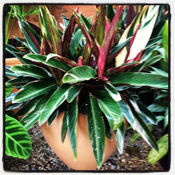 #tropicalgarden #maranta #jardim #jardineirofiel